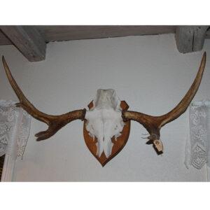 Flot elg gevirer fra Sverige